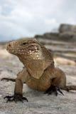 kubańska iguana obrazy stock