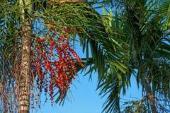 Kubańska królewska palma Zdjęcie Royalty Free