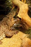 Kubański krokodyl Obraz Royalty Free