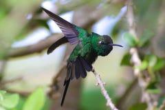 Kubański Szmaragdowy Hummingbird, Chlorostilbon ricodi Fotografia Stock