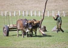 KUBA, STYCZEŃ 28, 2013: Kubański rolnik z wołami w polu Obraz Stock