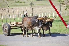 KUBA, STYCZEŃ 28, 2013: Kubański rolnik z wołami w polu Zdjęcia Royalty Free