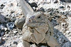 Kubaner Cyclore ist Spezies von Eidechsen von der Familie von Leguanen Kubanische Leguane werden geglaubt, Vegetarier zu sein stockfoto