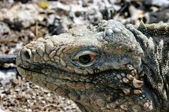 Kubaner Cyclore ist Spezies von Eidechsen von der Familie von Leguanen Kubanische Leguane werden geglaubt, Vegetarier zu sein lizenzfreie stockfotos