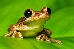 Kubanische treefrog Nahaufnahme auf von hinten beleuchtetem Blatt Stockbild