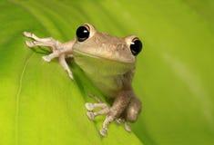Kubanischer Baum-Frosch auf von hinten beleuchtetem grünem Blatt Stockfotografie