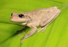 Kubanischer Baum-Frosch auf von hinten beleuchtetem grünem Blatt Lizenzfreies Stockbild