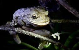 Kubanischer Baum-Frosch nachts Lizenzfreies Stockfoto