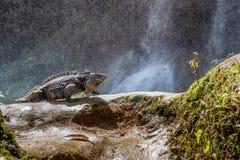 Kubanischer Felsenleguan (Cyclura-nubila) im Wald neben einem Wasserfall lizenzfreies stockfoto