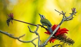 Kubanischer Grünspecht mit roten Blumen Stockfotografie