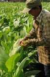 Kubansk bonde som kontrollerar hans tabacco-växter i Vinales arkivfoton