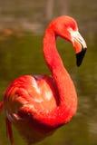 kubansk flamingo Arkivbilder