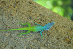 Kubansk gecko Arkivfoto