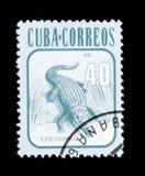 Kubansk krokodilCrocodylusrhombifer, djurserie, circa 1981 Royaltyfria Foton