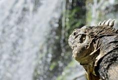 Kubansk leguan i skogen bredvid en vattennedgång Royaltyfria Bilder