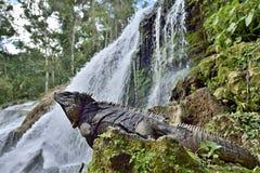 Kubansk leguan i skogen bredvid en vattennedgång Royaltyfri Bild
