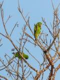 Kubansk parakiter som spelar på ett träd Royaltyfri Foto