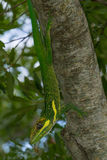 Kubansk riddare Anole Lizard Arkivfoton