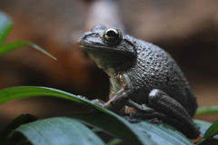 kubansk treefrog Royaltyfri Fotografi