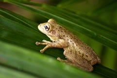 Kubańska drzewna żaba Zdjęcia Royalty Free