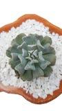 Kubik-Frost Succulent-Blumentopf Echeveria stockbilder