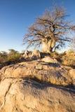 Kubu baobab Zdjęcie Stock