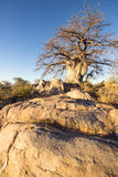 Kubu baobab Stock Photo