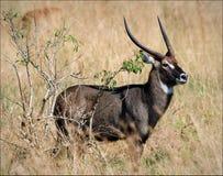 Kubus kob. Uganada Kob. This is Uganda national animal Stock Images