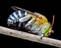 Kuckuckbiene stockbilder