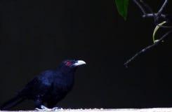 Kuckuckvogel Stockbilder