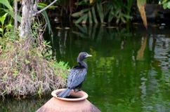 Kudły od India Czarny ptak Indiański kormoran, ciemny ptak w natury siedlisku, siedzi na gałąź z jasnym zielonym tłem, Bundala Zdjęcia Stock