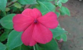 Kudalu blomma Arkivfoto