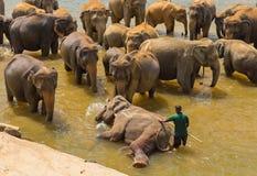 Kudde Aziatische olifanten die het spelen zwemmen en in rivier baden Stock Afbeelding