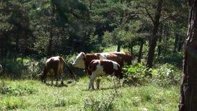 Kudde die van koe het gras weiden stock video