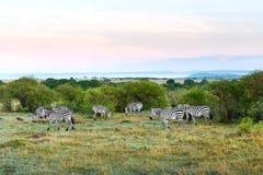 Kudde die van zebras in savanne in Afrika weiden royalty-vrije stock foto's