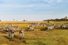 Kudde die van zebras in savanne in Afrika weiden royalty-vrije stock foto