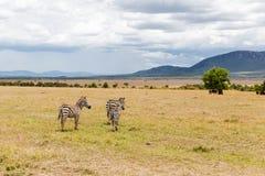 Kudde die van zebras in savanne in Afrika weiden royalty-vrije stock afbeeldingen