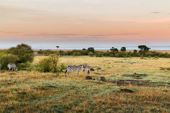 Kudde die van zebras in savanne in Afrika weiden stock foto