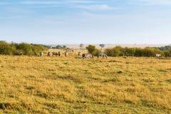 Kudde die van zebras in savanne in Afrika weiden stock afbeeldingen
