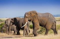 Kudde ofelephant in het Nationale park van Amboseli stock foto's