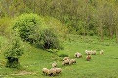 Kudde sheeps weiland in de weide Stock Foto's