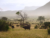 Kudde van Afrikaanse buffels Royalty-vrije Stock Foto