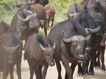 Kudde van Afrikaanse Buffels Royalty-vrije Stock Afbeeldingen