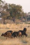 Kudde van Afrikaanse Buffels royalty-vrije stock afbeelding