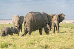 Kudde van Afrikaanse Bush-Olifanten royalty-vrije stock afbeelding
