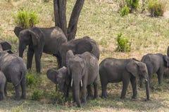Kudde van Afrikaanse Bush-Olifanten stock fotografie