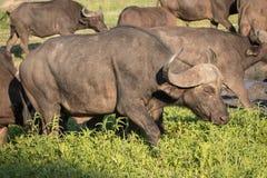 Kudde van Afrikaanse Kaapbuffels stock foto's