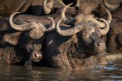 Kudde van Afrikaanse Kaapbuffels die weg in waterhole koelen stock fotografie