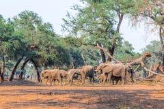 Kudde van Afrikaanse Olifant (Loxodonta) Royalty-vrije Stock Foto