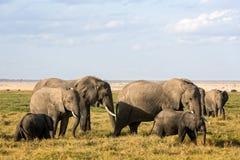 Kudde van Afrikaanse Olifanten stock foto's